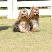stock photo of coat  - A portrait view of two small gray black and tan Yorkshire Terrier dog walking on the grass with their head coat braided. The yorkie is a companion dog with glossy fine silky and straight hair with hypoallergenic coat.