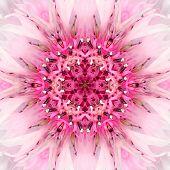Pink Mandala Flower Center. Concentric Kaleidoscope Design