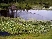 pic of duck pond  - duck pond lilypads and ducks swimming with the reflection of the trees on the water Dublinshore Lunenburg County Nova Scotia canada - JPG