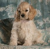 cute american cocker spaniel puppy sitting on green backdrop
