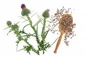 Milk thistle herb plant  with seeds in a wooden spoon over white background.