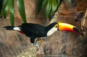 picture of toucan  - A toco toucan is standing on a branch - JPG