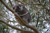 Dozing Koala in Gum Tree