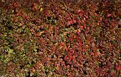Texture Of Autumn Green And Red Hedges