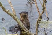 Florida Otter