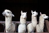 Face Of Four Funny Alpacas Llama In Farm