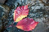 Autumn Leaf On The Water