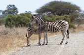 Zebra With Foal Standing At Kruger National Park, South Africa