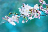 picture of bud  - Early spring cherry blossom with clusters of flower buds, with beautiful blue green  background. Focus is on forehand flower and flower buds on right hand side. - JPG
