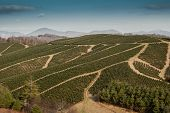 image of row trees  - Christmas trees grow in carefully planned rows on a farm in the mountains of North Carolina - JPG