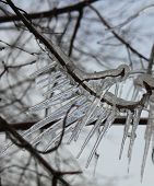 foto of freeze  - Icicles on the branches after spring freezing rain - JPG