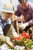 picture of mature adult  - Happy mature couple gardening together outside in the garden - JPG