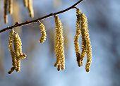 stock photo of hazelnut tree  - Close up of hazel tree  - JPG