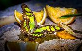 stock photo of malachite  - Closeup of Malachite butterfly feeding on slices of orange fruits - JPG