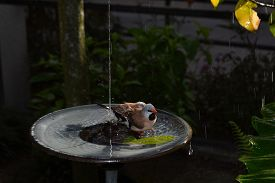 pic of water bird  - Bird in bird bath with water droplet and dark background - JPG