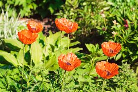 stock photo of six-petaled  - High angle close up of six red poppy flowers in sunlight surrounded by greenery - JPG