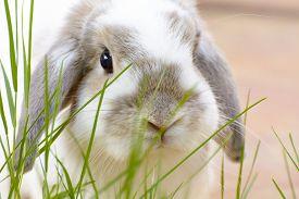 picture of bunny rabbit  - Rabbits are small mammals - JPG