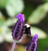 Bumble Bee On Lavender 1