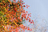 Red Autumn Leaf Lighted Up By Sunshine In Obara, Nagoya, Japan. poster