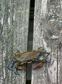 Eastern US Blue Claw Crab
