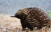 stock photo of ant-eater  - An austrailan echidna from side view standing - JPG