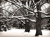 BW Trees in Snow