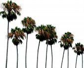 Palm Trees On White Background