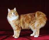 Red Mixed-bred Cat Standing On Red Background