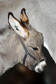 Baby donkey leaning against is mother
