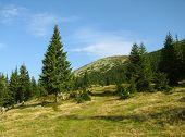 pine tree on a meadow
