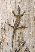 Goanna Just Hanging Around