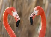 Flamingos Pair