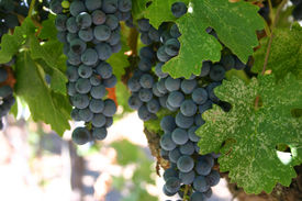 picture of wine grapes  - wine - JPG
