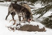 Black Phase Grey Wolf (canis Lupus) Shoves Wolf Aside At Deer Carcass - Captive Animals poster