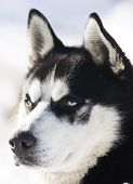 picture of siberian husky  - Siberian Husky in the Snow - JPG