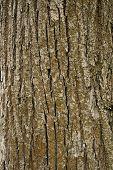 Texture of tree bark, vertical format