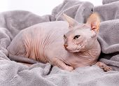 Closeup Portrait Of Grumpy Sphynx Cat. Side View poster