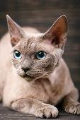 Lying Devon Rex Cat On A Dark Wooden Background. poster