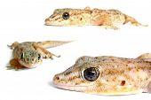 Stock de Gecko