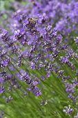 Honey bee resting on a lavender flower