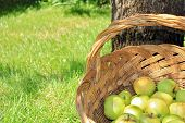 Yellow and green bio apples in basket