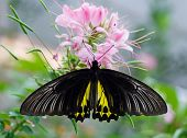 mariposa Papilio helenus especies