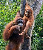 zwei Orang-Utan in sarawak
