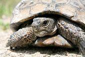 Tortoises ( turtle)