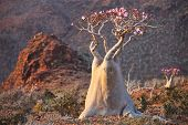Bottle tree in bloom - adenium obesum �¢�?�? endemic tree of Socotra Island