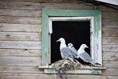 Seagull  family - Black-legged Kittiwake - Rissa tridactyla