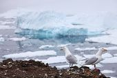 Seagull - Glaucous Gull (Larus hyperboreus) with iceberg background, Franz Josef Land