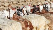 herd of pashmina goats in the Himalayas