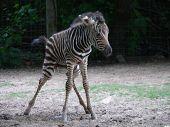 Baby_zebra