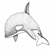 Hand Drawn Killer Whale. Vector Illustration In Sketch Style poster
